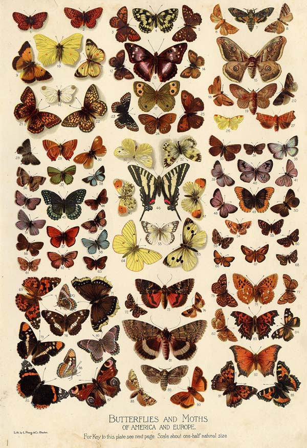 afbeelding van gravure Butterflies and Moths of America and Europe van Funk&Wagnalls Company (Insect)