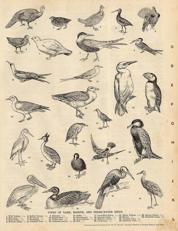 afbeelding van prent Types of Game, Marine, And Fresh-water Birds van Funk&Wagnalls Company