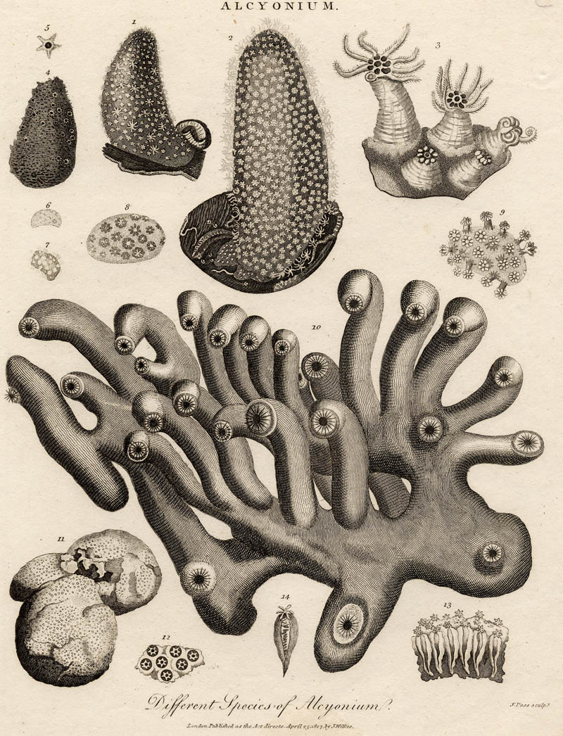 afbeelding van gravure Different species of Alcyonium van J. Pass